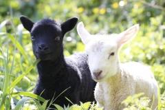 Coombes-Farm-Lambing-6-1024x708