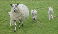 ewe-and-lambs-small