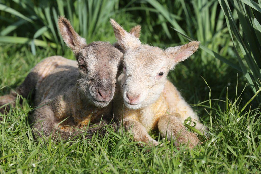 1-Coombes-Farm-Lambing-1024x683