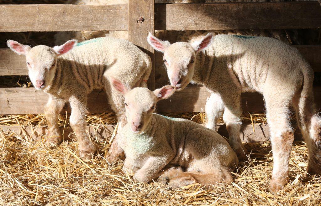 Coombes-Farm-Lambing-1024x658
